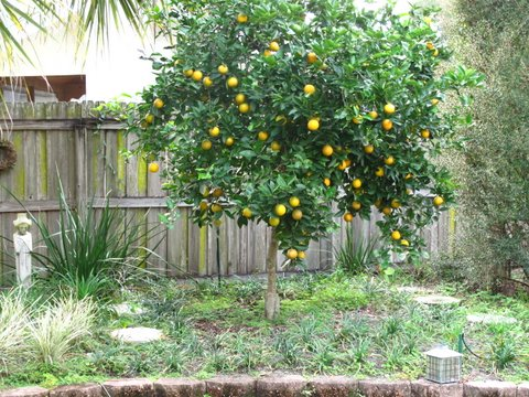 A Dwarf Hamlin Orange Tree Growing On Flying Dragon Rootstock